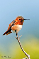 Vertical-Image-of-male-Allen's-Hummingbird-perched