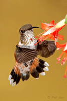 image-of-a-hummingbird-extending-tongue-into-a-flower