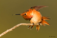 Allen's-Hummingbird-stretching-photo