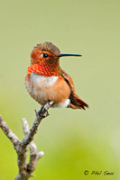 vertical-photo-of-an-Allen's-Hummingbird-with-copyspace