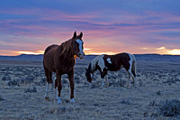 Cody Wyoming wild horses