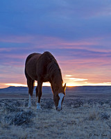 Wild horses grazing at sunrise