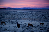 McCullough Peaks wild horses grazing at sunrise