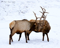 Elks with locked antlers