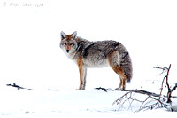 Winter coyote Yellowstone National Park