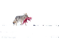 Coyote walking with carcass