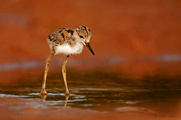 Black-necked-Stilt-Chick