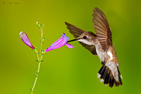 Female-Archilochus-alexandri-hummingbird-detailed-image-in-flight