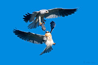 Fledgling-White-tailed-Kite-is-presented-vole-by-parent-in-flight-image