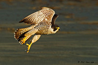 Image-of-a-Peregrine-Falcon-in-flight