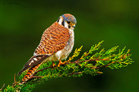 North-America's-Smallest-Falcon