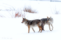 Coyote-pair-in-winter-Yellowstone-National-Park
