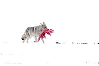 Coyote-walking-with-carcass