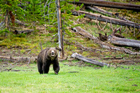Grizzly-Bear-Yellowstone-rainy-day
