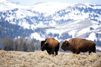 Two-Bison-Mountain-Background