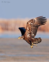 Image-of-an-immature-Bald-Eagle-Haliaeetus-leucocephalus-flying-with-fish-in-talons