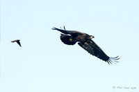 Fledgling-Bald-Eagle-in-flighted-chased-by-Red-winged-Blackbird