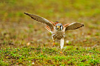 American-Kestrel-capturing-a-worm-image