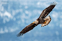 Immature-Bald-Eagle-in-flight