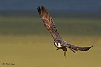 Adult-Peregrine-Falcon-flying-image