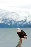 Bald-Eagle-perched-over-Kenai-Peninsula-Alaska