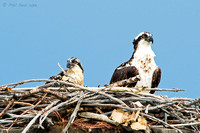 Nesting-osprey-chick-and-mother