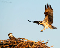 Male-osprey-visits-nest-as-chick-watches