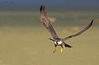 Photograph-of-a-Peale's-Peregrine-Falcon-flying-over-a-beach