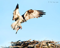 Osprey-brings-fish-to-nest-as-chick-watches