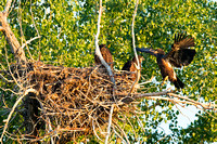 Nesting-Bald-Eagles-wing-flap