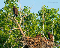 Immature-Bald-Eagles-at-nest-2