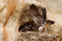 peregrine-falcon-chick-wing-flapping-in-eyrie-image