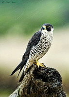 Peale's-Peregrine-Falcon-in-a-rainstorm-vertical-image