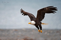 Bald-Eagle-taking-off-in-flight