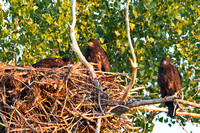Bald-eagle-chicks-at-nest-3