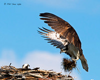 Osprey-with-nest-building-material