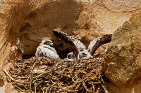 image-of-young-peregrine-falcons-in-eyrie-with-partial-down-feathers
