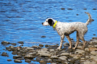 English Setter on point at water's edge
