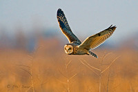 Short-eared-Owl,-Asio-flammeus-in-hovering-flight