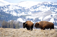 Two Bison Mountain Background