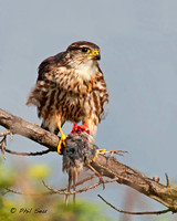 image-of-a-merlin-with-a-prey-bird