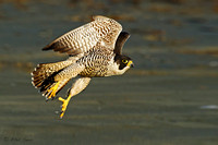 Image of a Peregrine Falcon in flight