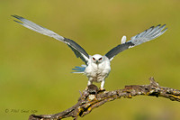 Female White-tailed Kite with vole staring forward image
