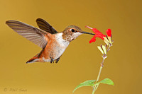 rufous-hummingbird-feeding-on-a-red-flower-image