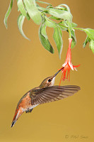 vertical-image-of-a-rufous-hummingbird-feeding-on-a-flower