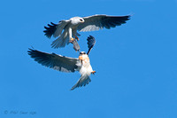 Fledgling White-tailed Kite is presented vole by parent in fligh