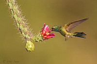 Male-Broad-billed-hummingbird