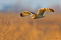 Short-eared-owl-in-low-flight-image