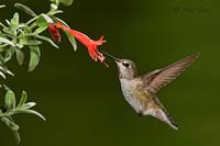 female-Anna's-Hummingbird-feeding-on-a-single-flower-in-hovering-flight-image