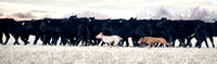 Panoramic image of two Hangin Tree Cowdogs herding cattle